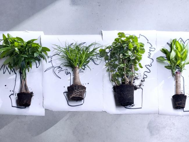 4 pflanzen so gro wie ihr weihnachtsbaum nachrichten. Black Bedroom Furniture Sets. Home Design Ideas