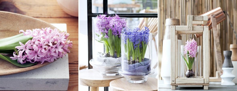 Hyacinth_Tuincentrum Leurs