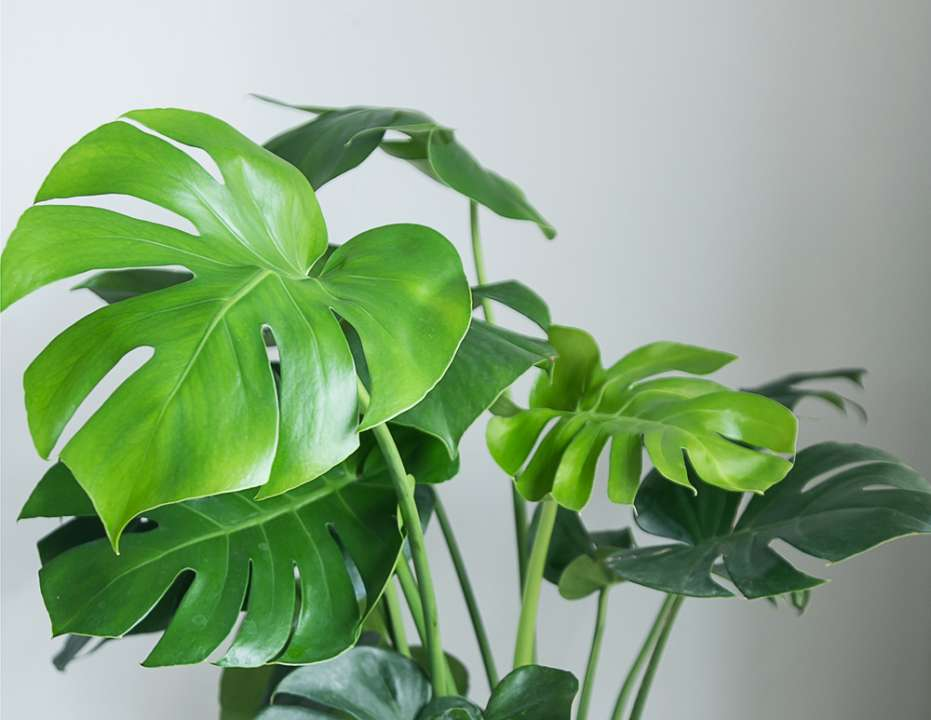 Monstera-plant-kopen-venlo