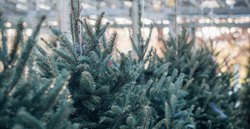 Kerstbomen_Tuincentrum Leurs