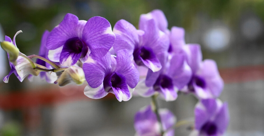 Orchideeën kopen - Tuincentrum Leurs